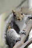 Esquilo no ramo de uma árvore Imagem de Stock Royalty Free