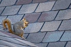 Esquilo no telhado foto de stock royalty free