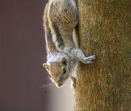 Esquilo no tronco de árvore imagem de stock royalty free