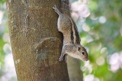 Esquilo no tronco de ?rvore imagem de stock royalty free