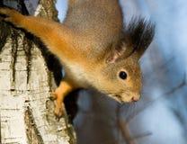 Esquilo no vidoeiro imagens de stock