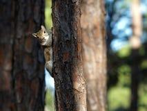 Esquilo olhar fixamente Foto de Stock Royalty Free