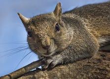 Esquilo para fora em um membro imagem de stock