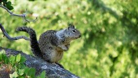 Esquilo, parque nacional de Yosemite Foto de Stock