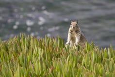 Esquilo pelo mar Fotografia de Stock
