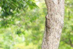 Esquilo pequeno Imagem de Stock