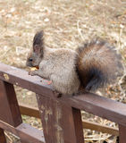 Esquilo pequeno Fotos de Stock Royalty Free