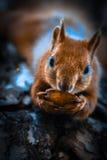 Esquilo pequeno Imagem de Stock Royalty Free