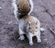 Esquilo pequeno agradável no parque Fotografia de Stock