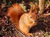 Esquilo pequeno que come um amendoim imagem de stock