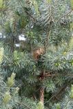 Esquilo pequeno vermelho curioso que olha um visor em um pinheiro verde imagens de stock