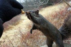 Esquilo preto Fotografia de Stock Royalty Free