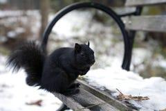 Esquilo preto Fotos de Stock