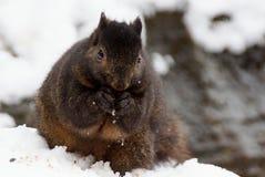 Esquilo preto Foto de Stock