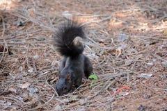 Esquilo preto Fotos de Stock Royalty Free