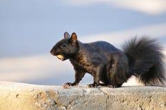 Esquilo preto com bolota Foto de Stock Royalty Free