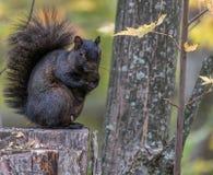 Esquilo preto na queda, pântano de Tylee, Rosemere, Quebeque, Canadá imagens de stock royalty free