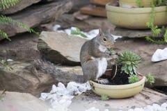 Esquilo que alimenta em plantas de jardim fotografia de stock