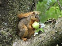 Esquilo que come Apple verde em uma árvore Fotos de Stock Royalty Free