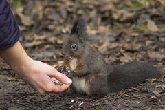 Esquilo que come da mão Fotografia de Stock