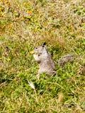 Esquilo que come a flor imagens de stock royalty free