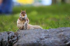 Esquilo que come na rocha Imagens de Stock