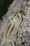 Esquilo que come na superfície grosseira imagens de stock