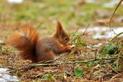 Esquilo que come o amendoim Foto de Stock