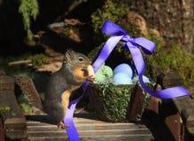Esquilo que come o amendoim com cesta da Páscoa imagem de stock