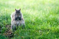 Esquilo que come o milho Fotografia de Stock Royalty Free