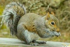Esquilo que come o milho fotos de stock