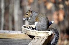 Esquilo que come o pássaro Imagem de Stock