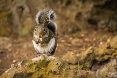 Esquilo que come a porca Imagem de Stock