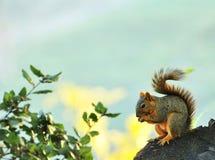 Esquilo que come a porca Imagens de Stock