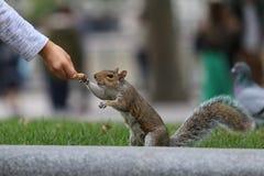 Esquilo que come porcas Fotos de Stock Royalty Free