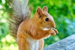 Esquilo que come porcas Imagem de Stock