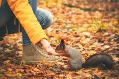 Esquilo que come porcas da mão da mulher Imagens de Stock Royalty Free