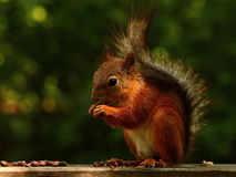 Esquilo que come porcas de cedro no banco Imagens de Stock Royalty Free
