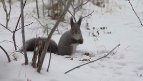 Esquilo que come porcas na neve vídeos de arquivo