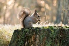 Esquilo que come sementes de girassol na floresta Imagens de Stock