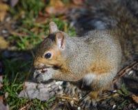Esquilo que come sementes de girassol na natureza imagens de stock royalty free