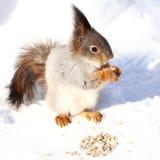 Esquilo que come sementes no fundo nevado Imagem de Stock
