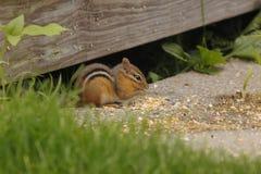 Esquilo que come um petisco Fotografia de Stock