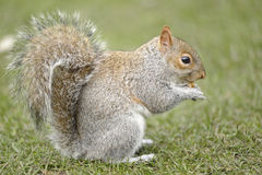 Esquilo que come uma noz Imagem de Stock