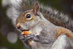 Esquilo que come uma parte de pão imagens de stock