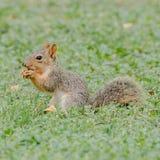 Esquilo que come uma porca Imagem de Stock