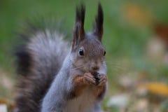 Esquilo que come uma porca Foto de Stock Royalty Free