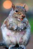 Esquilo que come uma porca Imagens de Stock Royalty Free