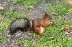 Esquilo que come uma porca na grama Fotos de Stock