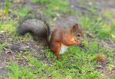 Esquilo que come uma porca na grama Fotografia de Stock Royalty Free